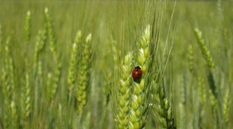 Développer les céréales pérennes pour préserver les sols et diversifier les productions végétales