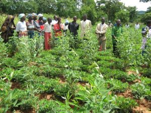 A farmer field day: Farmers visit the field of a fellow farmer who has adopted legume intercropping