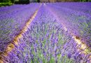Gestion des couverts végétaux sans herbicide en production de grandes cultures et plantes à parfums aromatiques et médicinales en PACA