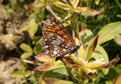 Petite nacré Issoria Lathonia