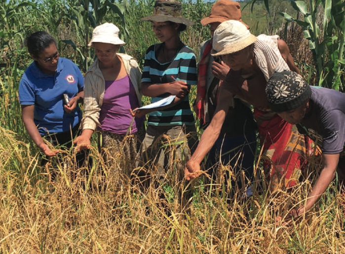 Figure 1. Participatory evaluation of rainfed rice varieties ensured that farmers' preferences informed selection. Photo credit