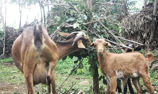 Figure 2. Goats feed on Ficus thonningii leaves harvested from silvopastoral systems. Photo credit: M. Balehegn, 2014.