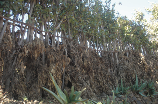 Figure 3. Ficus thonningii serve as live fences while conserving soil and water. Photo credit: M. Balehegn, 2014