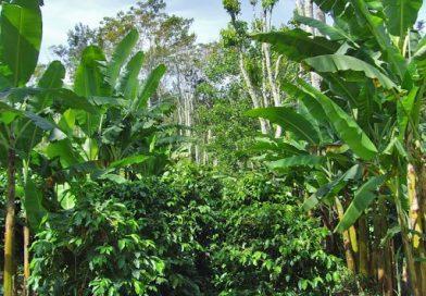 Figure 1. Coffee-banana intercropping in Uganda