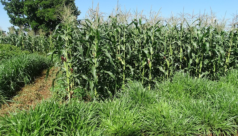 Figure 2. Maize grown with the push-pull technology on the left shows clearly better productivity compared to the right without it. Striga infestation is also seen on the right