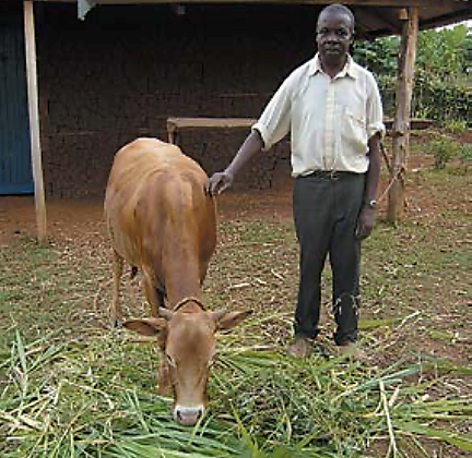 Figure 4. A farmer feeds his zebu fodder from the push-pull system