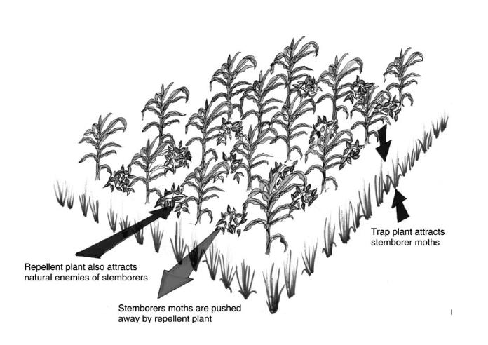 Figure 1. Representation of push-pull farming (Source: Khan et al. 2011)
