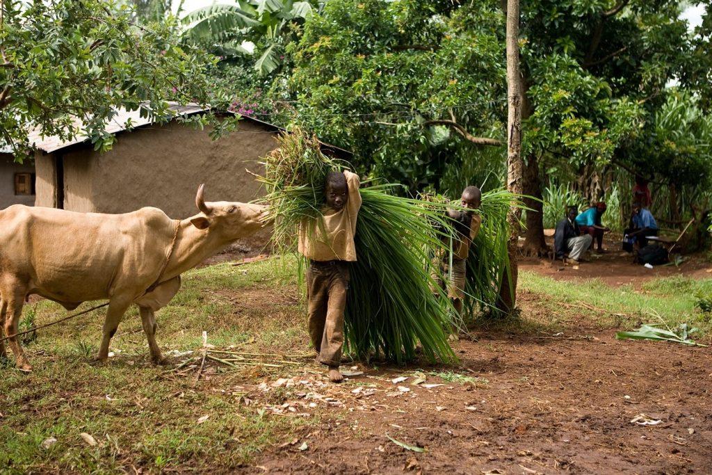 Figure 3. Children gather foddergrass for livestock; © Peter Lüthi/Biovision