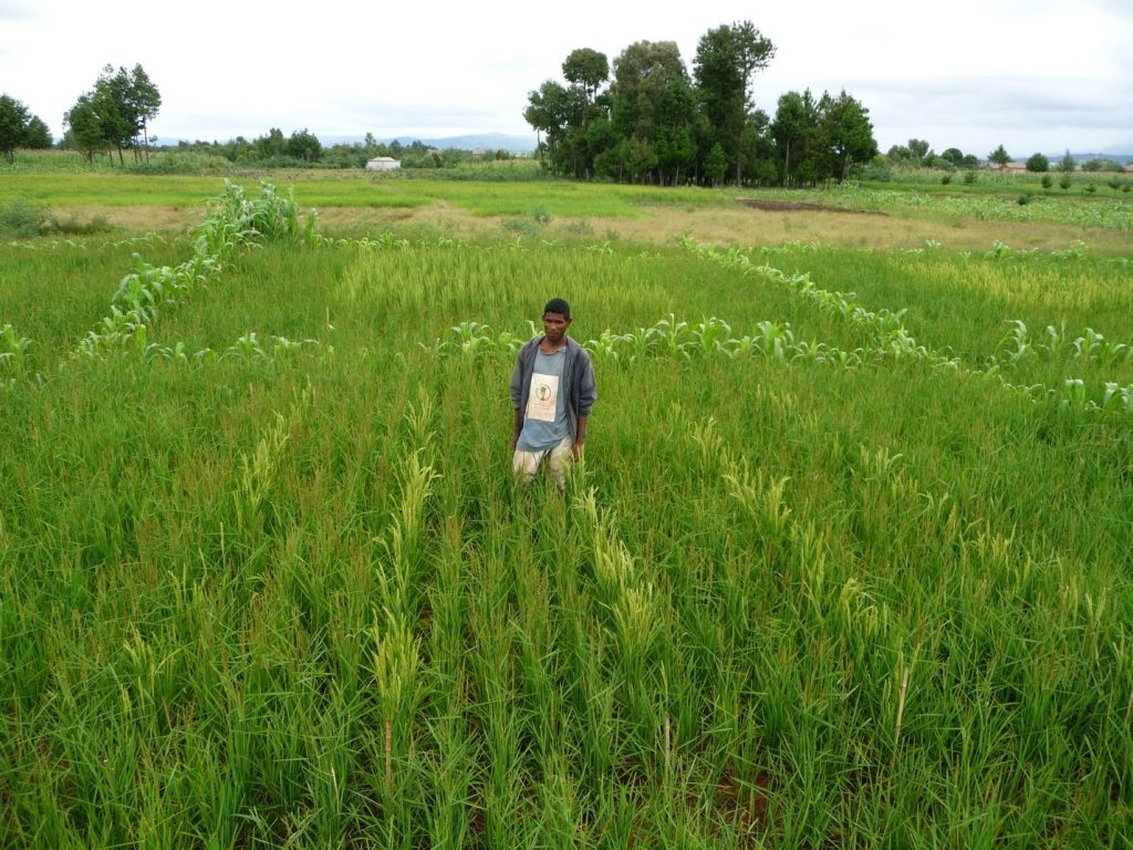 Figure 2. A farmer in his field planted with varietal mixtures of rice; © Louis-Marie Raboin